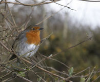 British Robin. This winter Robin was photographed at a wetland reserve in Wales, UK Stock Photo