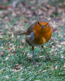 Curious Robin. A British robin checks out the camera before carrying on with its meal Stock Image