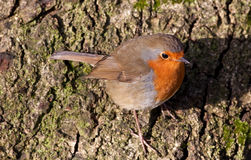 British Robin (Erithacus rubecula). Perched on a tree in the sunshine Stock Photography
