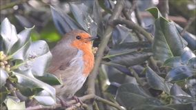 British robin red breast bird singing in the tree tops sparrow birds. Video of a beautiful british robin red breast bird singing in the tree tops in a kent park stock video footage