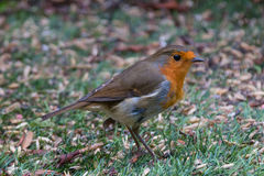 Hungry Robin. A British robin searches the grass for tasty seeds Royalty Free Stock Photo
