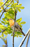 British robin singing. Photo of a beautiful small british red robin bird singing in the tree top Stock Photography