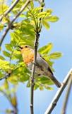 British robin singing Stock Photography