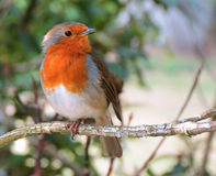 British Robin on a twig. Robin on a twig with a leafy background in summer Stock Image