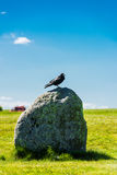 British Rook on a stone at Stonehenge. Bare, grayish white face, thinner beak and peaked head. The rook Corvus frugilegus is a member of the family Corvidae in Royalty Free Stock Photos