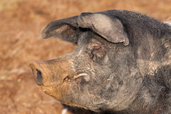 British Saddleback Boar pig Royalty Free Stock Images