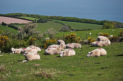 British sheep. English farmland;somerset Stock Photography