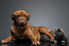 British shor hair cat and bourdeaux dog relaxing in studio Stock Image