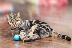 British Short hair Breed cat with bright yellow eyes lays on the wooden floor with a little blue ball toy. Tebby color, indoors. C royalty free stock image