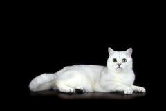 British Short Hair cat. Tipped British Short Hair cat on black background Stock Photography