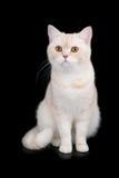 British Short Hair cat. Cream and white British Short Hair cat on black background Royalty Free Stock Photos