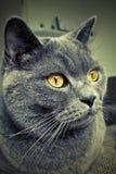 British short hair cat. Indoors on sofa Stock Image