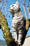 British short hair cat. In tree Stock Photos