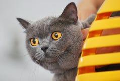British Short-hair Cat. A photo taken on a british short-hair cat Stock Photo