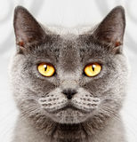 British short hair cat Royalty Free Stock Photo