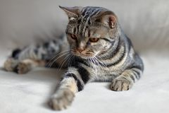 British Short hair cat with bright yellow eyes lais on the beige sofa leaning paw towards the viewer. stock photography