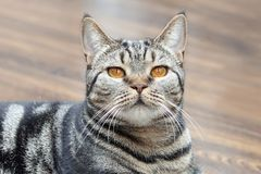 British short hair cat with bright yellow eyes lais on the floor. Tebby color сute cat at home. stock photography