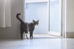 British short hair cat. Cute British short hair cat, indoor shooting Royalty Free Stock Image