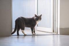 British short hair cat. Cute British short hair cat, indoor shooting Royalty Free Stock Photography