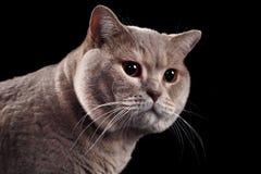 British Short Hair Cat Cutout Stock Photos