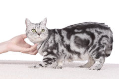 British Short hair cat gets cuddles Royalty Free Stock Photos