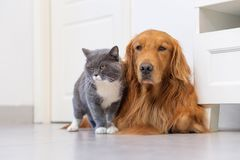 British shorthair cats and Golden Retriever Royalty Free Stock Image