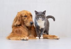 British shorthair cats and Golden Retriever. British short hair cat and golden retriever friendly to get along Stock Photo