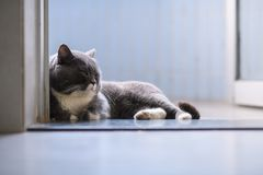 British short hair cat. Indoor shooting Stock Image