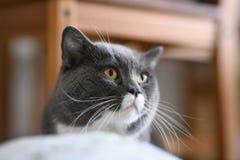 British short hair cat. Indoor shooting Stock Photography
