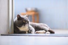 British short hair cat. Indoor shooting Stock Images
