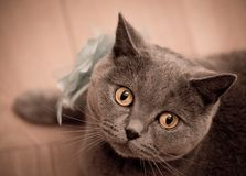 British short-hair cat looking at camera. Royalty Free Stock Photography