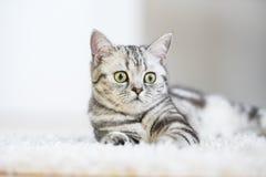 British short hair cat lying on fur rug Stock Images