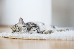 British short hair cat lying on fur rug. On wooden background Royalty Free Stock Photo