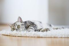 British short hair cat lying on fur rug Royalty Free Stock Photo