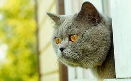 British short hair cat peering out of the window Stock Images