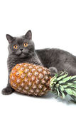 British short hair cat with pineapple Royalty Free Stock Photos