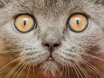 British Short Hair Cat Portrait. British Short Hair Cat Close Up Portrait Stock Image