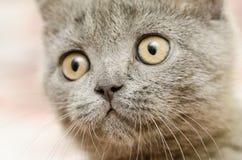 British Short Hair Cat Portrait Royalty Free Stock Photos