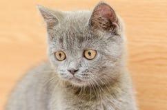 British Short Hair Cat Portrait Stock Photography
