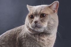 British Short Hair Cat Stock Photo