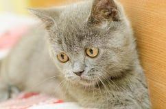 British Short Hair Cat Relaxing Royalty Free Stock Image