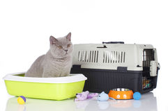 British short hair cat sitting in a litter box Stock Photography
