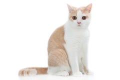British short hair cat sitting sideways Royalty Free Stock Photos