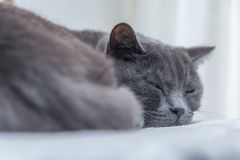 British short hair cat sleeping Stock Images