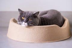 British short hair cat sleeps in den. Indoor shooting Stock Images