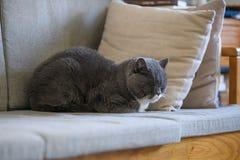 British short hair cat sleeps on sofa Stock Photos