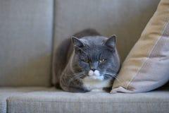 British short hair cat sleeps on sofa Royalty Free Stock Photography
