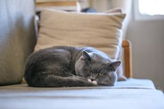 British short hair cat sleeps on sofa Stock Images