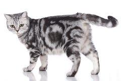 British short hair cat Royalty Free Stock Photos