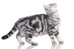 British short hair cat standing sideways Stock Photos